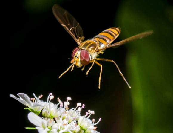 This image shows a syrphid fly, a common non-bee crop pollinator. Image credit: Tobias Smith.